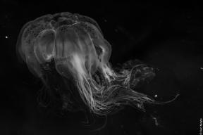 Sea nettle or brown jellyfish (Chrysaora hyoscella), Sydney Cove, Ulva Island
