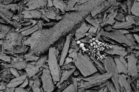 Neptune's necklace (Hormosira banksii) and rimu (Dacrydium cupressinum) logging detritus in Ryan's Creek, low tide
