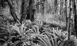 Forest at Cow and Calf Point, composed of kamahi, stinkwood (Coprosma foetidissima), karamu (Coprosma lucida), and crown fern (Blechnum discolor)