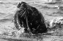 Young male NZ sealion and octopus off Tommy Island, Paterson Inlet