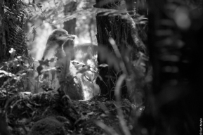 Hoiho / yellow-eyed penguin chick (Megadyptes antipodes), Bravo Islands group