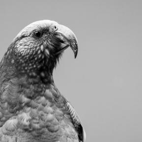 Kaka (Nestor meridionalis), Oban