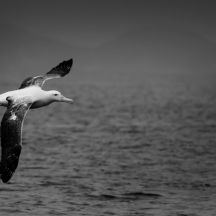 Northern royal albatross, Mamaku Point