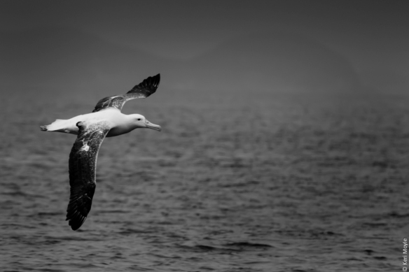 Northern royal albatross, Mamaku Point