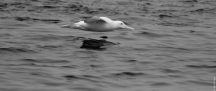 Northern royal albatross / toroa (Diomedea sanfordi), Mamaku Point
