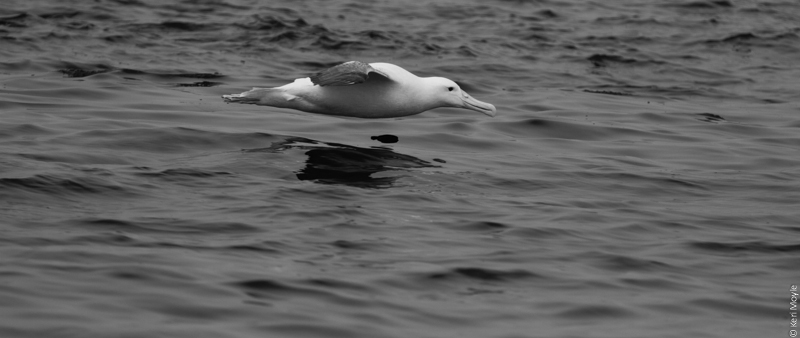 Northern royal albatross / toroa (Diomedea sanfordi), Mamaku Point