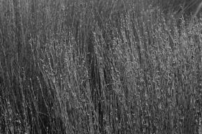 Male oioi / jointed wire rush (Apodasmia similis), Little Bungaree Lagoon
