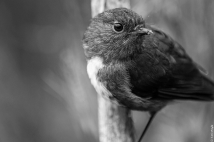Stewart Island robin (Petroica australis rakiura), Northern Circuit track between Freshwater River and Mason