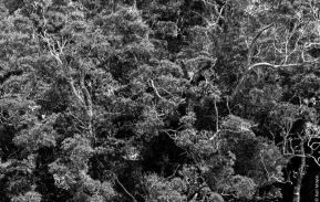Kamahi (Weinmannia racemosa), Little Bungaree Lagoon