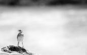 Pipit / pihoihoi (Anthus novaeseelandiae), Duck Creek, Mason Bay