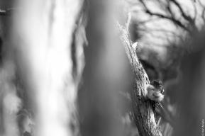 Tomtit / ngirungiru chick (Petroica macrocephala macrocephala), Peter's Point, Rakiura Track