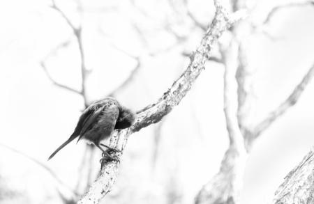 Juvenile bellbird / korimako (Anthornis melanura), Peter's Point, Rakiura Track