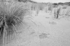 Seeds of native sand tussock (Poa billardierei) foredune, Mason Bay
